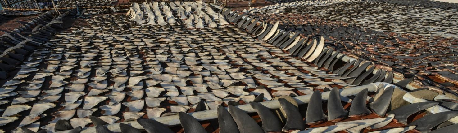 millions of sharks killed